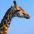zsiráf · néz · kamera · park · égbolt · Afrika - stock fotó © photocreo