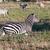 シマウマ · アフリカ · サバンナ · アフリカ · サファリ · セレンゲティ - ストックフォト © photocreo