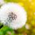 życia · cyklu · Dandelion · etapie · jeden · obraz - zdjęcia stock © photocreo