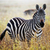 zebra portrait on african savanna stock photo © photocreo