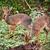 a couple of dik dik antelopes in tanzania africa stock photo © photocreo