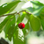 cherry from valle del jerte in spain stock photo © photooiasson