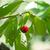 ecológico · cerejas · branco · fundo · vermelho - foto stock © photooiasson