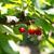 ecológico · cerejas · branco · coração · fundo - foto stock © photooiasson