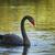 negro · cisne · río · banco · adelaide - foto stock © photosebia