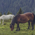 free horses grazing stock photo © photosebia