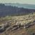 flock of sheep in sheep pen stock photo © photosebia