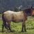 roan bay stallion grazing stock photo © photosebia