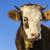 mucca · ritratto · verde · estate · farm · animale - foto d'archivio © photosebia