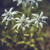 edelweiss flowers stock photo © photosebia
