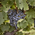 niagara on the lake blue concord grapes stock photo © pictureguy