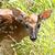 baby deer doe stock photo © pictureguy