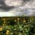 nubes · de · tormenta · saskatchewan · amarillo · borde · del · camino · flores · cielo - foto stock © pictureguy