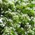 beyaz · çiçekler · armut · taze · yeşil · bahar · yaprakları - stok fotoğraf © Pietus