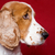 profile portrait of cocker spaniel stock photo © pietus