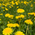 pitypangok · alkonyat · napfény · papír · textúra · tavasz - stock fotó © pietus