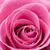 belo · gotas · de · água · rosa · gotas - foto stock © pietus