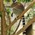 madagascars ring tailed lemur sitting on the tree stock photo © pilgrimego