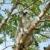 Madagascar's Ring-tailed lemur sitting on the tree. stock photo © Pilgrimego