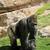 big male gorilla on the nature stock photo © pilgrimego