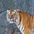 tigris · állatkert · test · narancs · fej · állat - stock fotó © pinkblue