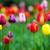campo · vibrante · colorido · tulipanes · flor · naturaleza - foto stock © pixachi