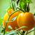 zöldség · kert · növények · citromsárga · paradicsomok · zöld - stock fotó © pixachi