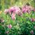 vermelho · trevo · erva · flores · flor · monte - foto stock © pixachi