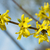forsythia a beautiful spring bush with yellow flowers stock photo © pixelman