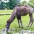 a bactrian camel drinking across the field stock photo © pixinoo