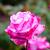 perfumado · rosa · completo · florescer · Washington · parque - foto stock © pngstudio