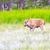 bisão · verão · árvore · grama · campo · EUA - foto stock © pngstudio