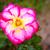 Fragrant Rose in Full Bloom stock photo © pngstudio