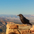 raven at bryce canyon stock photo © pngstudio