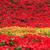 foglie · fiore · primo · piano · top · rosso · albero - foto d'archivio © prajit48