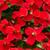 geranium flowers stock photo © pressmaster