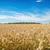 búzamező · friss · termény · búza · boldog · háttér - stock fotó © prg0383