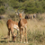 antelopes in botswana stock photo © prill