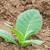 dohány · gazdálkodás · Kuba · természet · világ · levél - stock fotó © prill