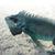 緑 · イグアナ · は虫類 · 詳しい · 皮膚 · 舌 - ストックフォト © prill