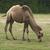 bactrian camel stock photo © prill