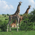 três · girafas · savana · caminhada · africano · verde - foto stock © prill