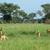 Uganda · szavanna · Afrika · fű · természet · állatok - stock fotó © prill
