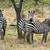 zebrák · Afrika · Uganda · fa · természet · ló - stock fotó © prill