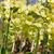 amarelo · prímula · flor · isolado · branco · fundo - foto stock © prill