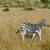シマウマ · アフリカ · 公園 · ケニア · 草 · 馬 - ストックフォト © prill