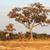 dois · girafas · africano · savana · caminhada · verde - foto stock © prill