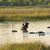 hippos in botswana in botswana stock photo © prill