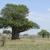 baobab tree in africa stock photo © prill