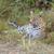 leopar · doğa · rezerv · Güney · Afrika - stok fotoğraf © prill